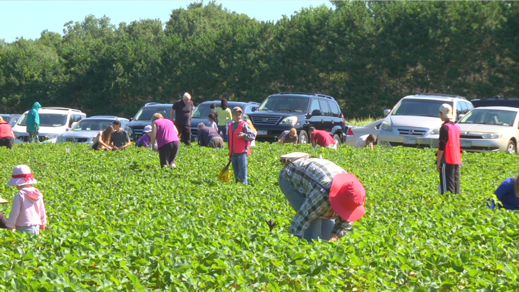 Berry pickers in Champlin